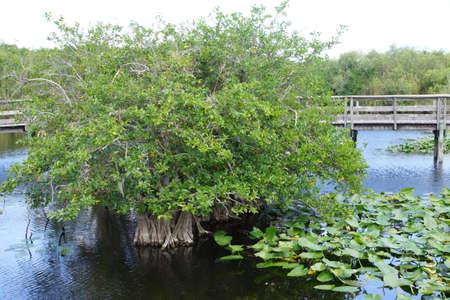 everglades: Water apple Annona glabra Everglades National Park Florida USA