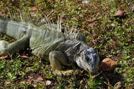 iguana: Grner Iguana Iguana iguana Key Largo Florida USA Stock Photo