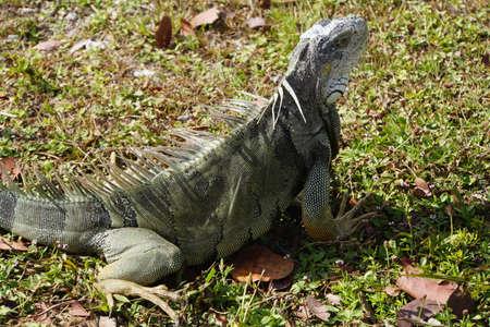Grner Iguana Iguana iguana Key Largo Florida USA photo