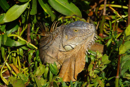 ner: Grner Iguana Iguana iguana Key Largo Florida USA Stock Photo