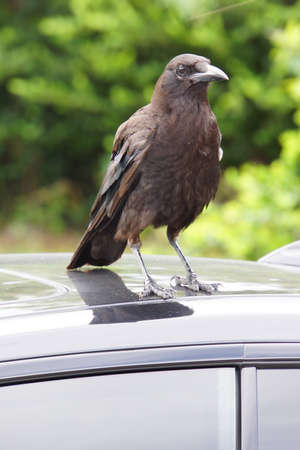 homestead: Amerikanerkrhe Corvus brachyrhynchos on a car roof Homestead  Stock Photo