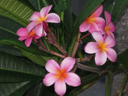 blte: Frangipani Plumeria Frangipandi Wachsblume Key Largo