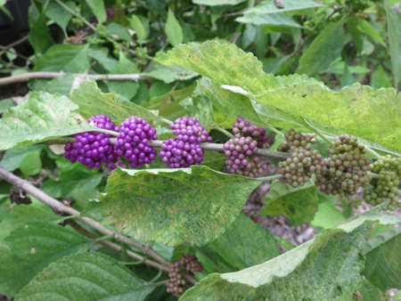 americana: American Callicarpa americana American Schnfrucht Liebesperlen shrub Key Largo  Stock Photo