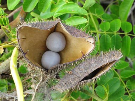 ジャケツイバラ属 bonduc の果実