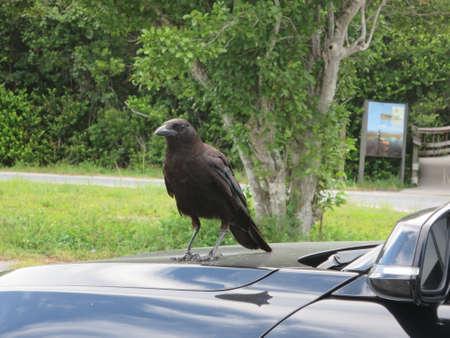 homestead: Amerikanerkrhe Corvus brachyrhynchos on a car roof Homestead Florida USA Stock Photo