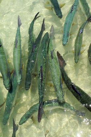await: Atlantic tarpon atlanticus Megalops await Fischftterung