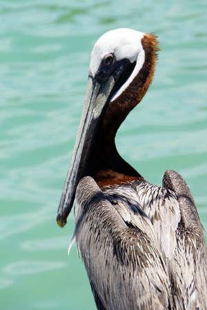 await: Brown pelicans Pelecanus occidentalis await fish feeding by tourists Islamorada Florida USA  Stock Photo