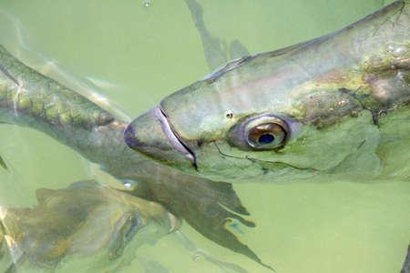 await: Atlantic tarpon atlanticus Megalops await fish feeding by tourists Islamorada Florida USA Robbie39s Marina