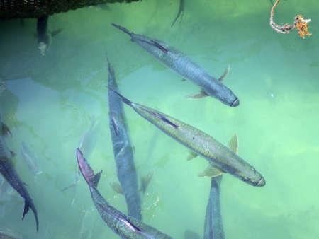 await: Atlantic tarpon atlanticus Megalops await Fischftterung by tourists Islamorada Florida USA Robbie39s Marina