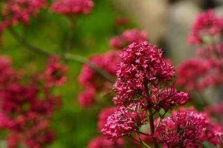 valerian plant: Red Valerian Centranthus ruber