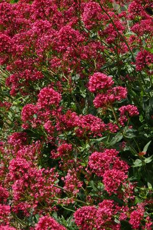 valerian: Valeriana rossa Centranthus ruber Archivio Fotografico