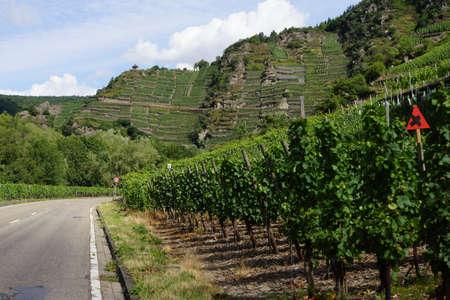 viniculture: Weinberge bei Mayschoss, Altenahr, Rheinland -Pfalz, Deutschland