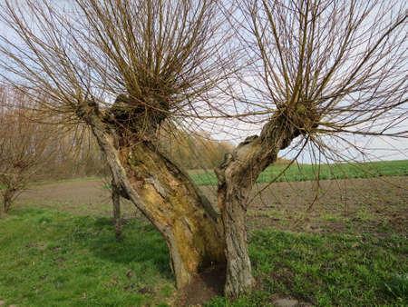 salix: Head Weidenallee Salix spec., Gollwitz, Insel Poel, Mecklenburg-Vorpommern, Germany Stock Photo
