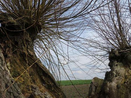 spec: Head Weidenallee Salix spec., Gollwitz, Insel Poel, Mecklenburg-Vorpommern, Germany Stock Photo