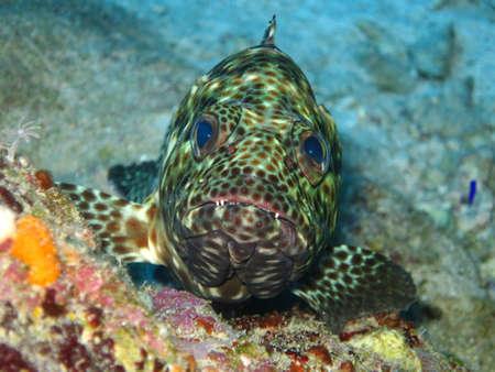 epinephelus: Brown spots grouper Epinephelus tauvina