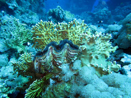clam: Giant Clam and fire coral Stock Photo