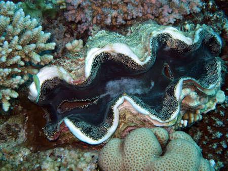 Schuppige Riesenmuschel - シャコガイ squamosa