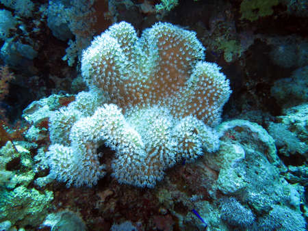 sarcophyton: Leather coral Sarcophyton sp. Stock Photo