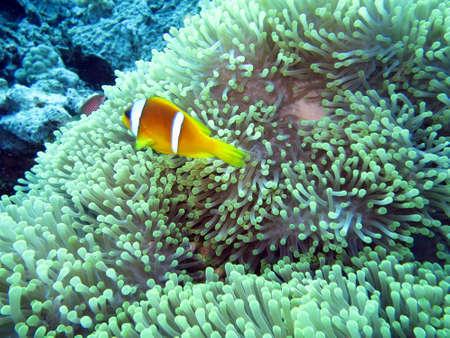 pez payaso: Mar Rojo pez payaso Amphiprion bicinctus