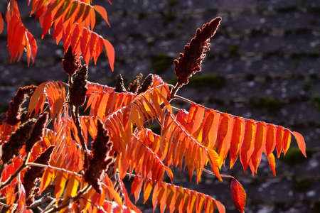 staghorn: Staghorn sumac Rhus typhina in autumn foliage Stock Photo