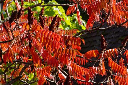 Staghorn sumac Rhus typhina in autumn foliage Standard-Bild