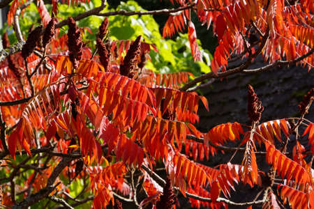 Staghorn sumac Rhus typhina in autumn foliage Stock Photo