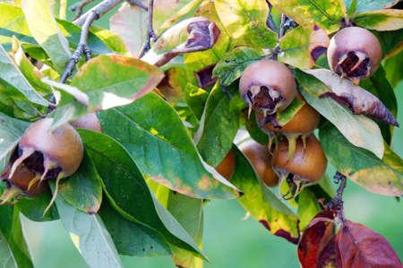 pome: Fruits of Medlar Mespilus germanica, Rothenburg ob der Tauber, Bavaria, Germany Editorial
