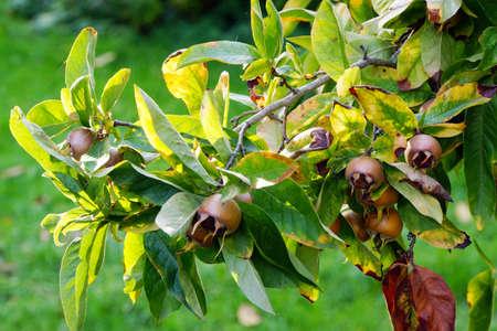 pome: Fruits of Medlar Mespilus germanica, Rothenburg ob der Tauber, Bavaria, Germany Stock Photo
