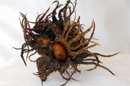 corylus: Fruit of the hazel Corylus colurna Tree, Bad Neuenahr, Rhineland-Palatinate, Germany