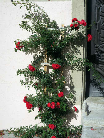 der: red climbing roses in the Burggarten, Rothenburg ob der Tauber, Bavaria, Germany Stock Photo