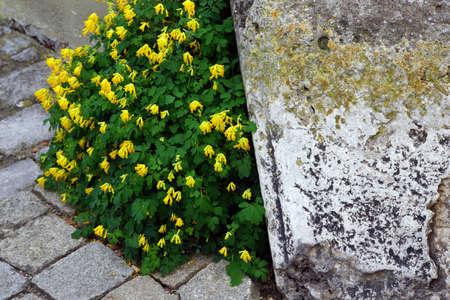 黄色いキケマン キケマン黄体黄ビルもキケマン黄体 Pseudofumaria