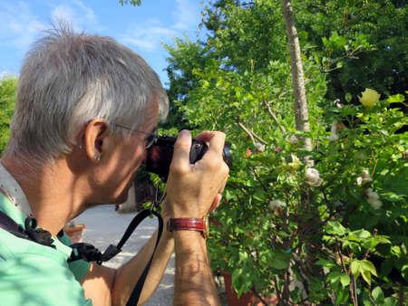 plant gossypium: Tourist photographing cotton Gossypium arboreum, Lucca, Tuscany, Italy