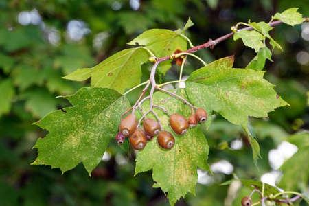 sorbus: Fruits of wild service tree Sorbus torminalis, Lucca, Tuscany, Italy