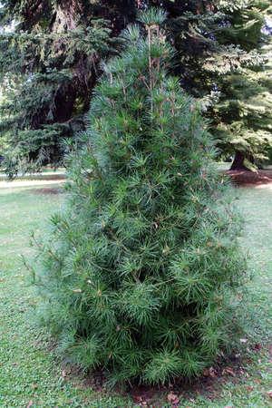 Screen fir Sciadopitys verticillata, Lucca, Tuscany, Italy Stock Photo