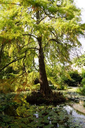 cypress: Bald cypress Taxodium distichum, Lucca, Tuscany, Italy Stock Photo