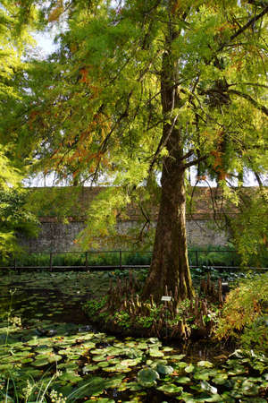 aerial roots: Bald cypress Taxodium distichum, Lucca, Tuscany, Italy Stock Photo