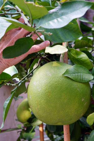 citrus maxima: Pomelo Citrus maxima or Citrus grandis on the bush, Lucca, Tuscany, Italy