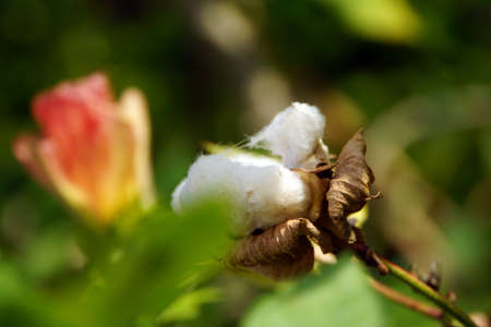 plant gossypium: Cotton Gossypium arboreum, Lucca, Tuscany, Italy Stock Photo