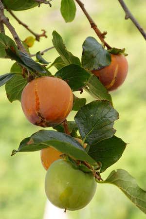 diospyros: Kaki fruits on the tree Diospyros kaki, Riomaggiore, Liguria, Italy