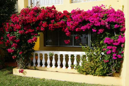 entwine: Bougainvillea spectabilis entwine a balcony, Canico, Madeira, Portugal