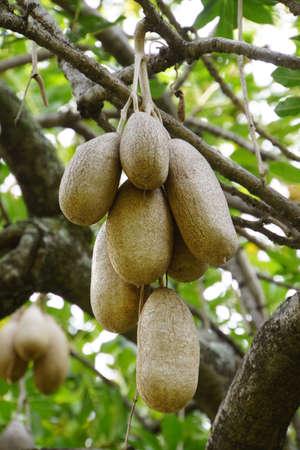 synonym: Sausage Tree Kigelia africana, synonym Kigelia pinnata in the park Santa Catarina, Funchal, Madeira, Portugal
