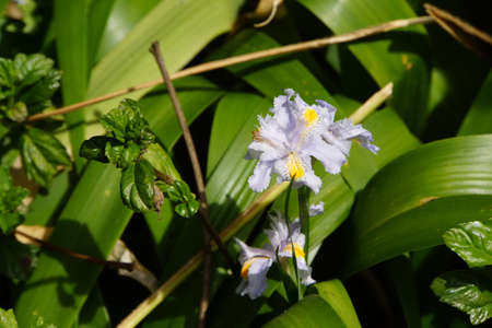 japonica: Iris japonica, Funchal, Madeira, Portugal