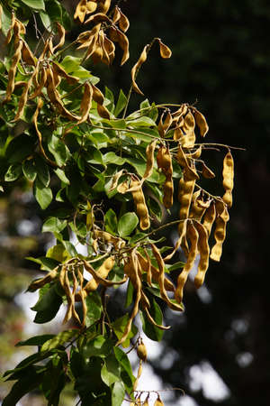 synonym: Fruits of Dalbergia Palisanderbaum domingensis, synonym Lonchocarpus sericeus in city garden, Funchal, Madeira, Portugal