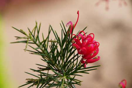 pflanze: Rosmarin-Silbereiche (Grevillea rosmarinifolia), Funchal, Madeira, Portugal