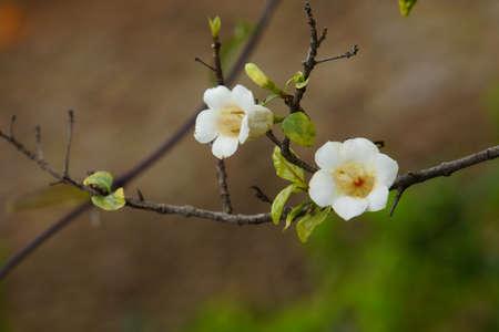 globosa: Rothmannia globosa syn. Gardenis globosa, Funchal, Madeira, Portugal