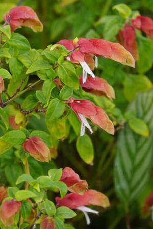 pflanze: Beloperone guttata, Funchal, Madeira, Portugal