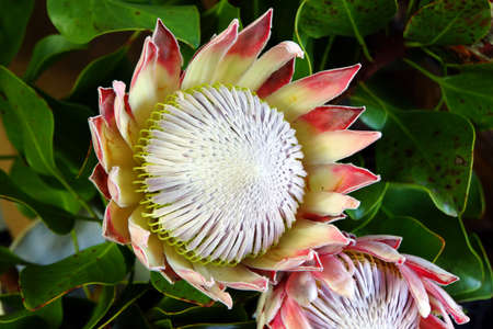 bl: Protea uar market on the flowers, Funchal, Madeira, Portugal