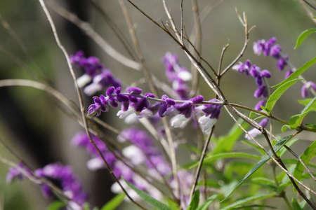lila: Salvia leucantha