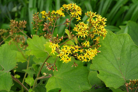senecio: Butterbur Ragwort Senecio petasites, Funchal, Madeira, Portugal