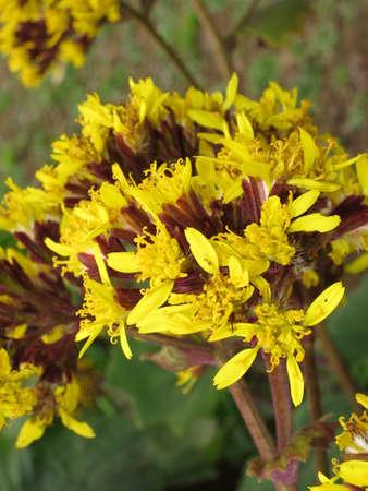 petasites: Butterbur Ragwort Senecio petasites, Funchal, Madeira, Portugal